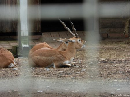 Антилопы в зоопарке Батуми
