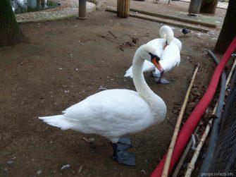 Белые лебеди в птичнике Батуми