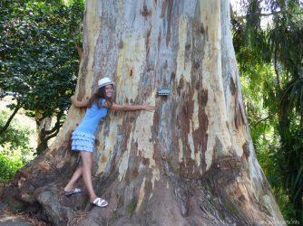 Древние деревья в ботаническом саду рядом с Батуми