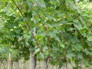 Грозди винограда на территории винного дома в Аджарии