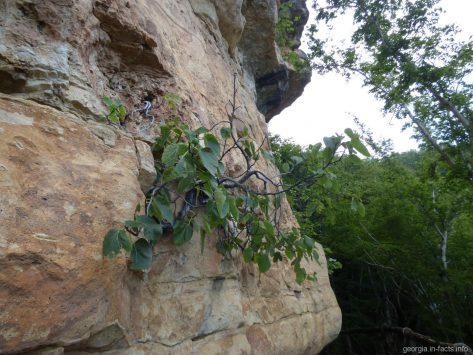 Инжир, растущий в голой скале