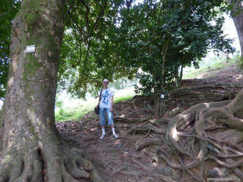 Корни деревьев Нижнего парка батумского ботсада