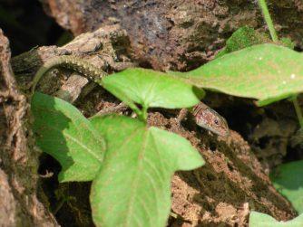 Крошечная ящерица в ботаническом саду Батуми