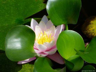Лотос в пруду ботанического сада Батуми
