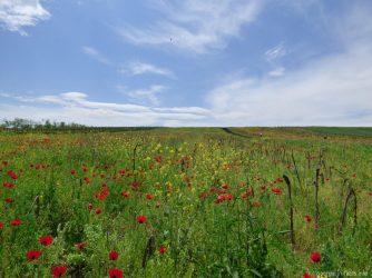 Маковое поле во время экскурсии в Кахетию, Грузия