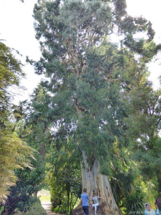 Огромный эвкалипт на территории батумского ботсада