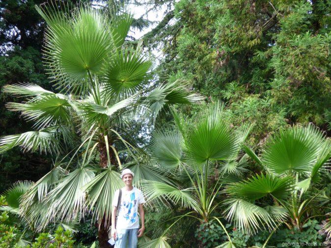 Пальмы в ботаническом саду Батуми