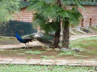 Павлин на территории птичника в Батуми