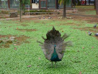 Павлин в птичнике Батуми