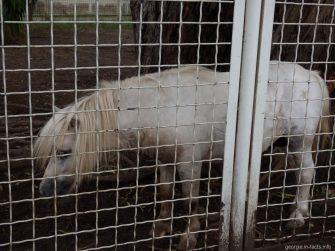 Шотландский пони в зверинце города Батуми