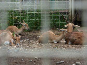 Семейство антилоп в зоопарке Батуми