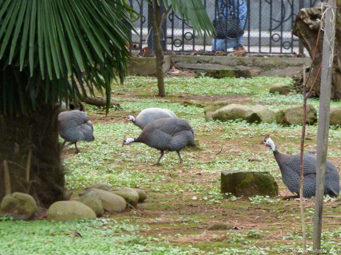 Цесарки в птичнике Батуми