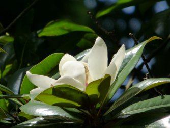 Цветок магнолии из ботанического сада Батуми