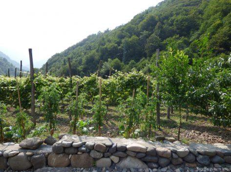 Виноградники Аджарии