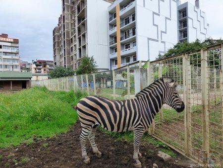 Зебра из зоопарка в Батуми