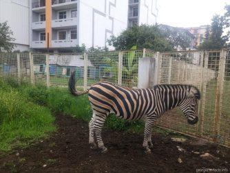 Зебра в зоопарке Батуми