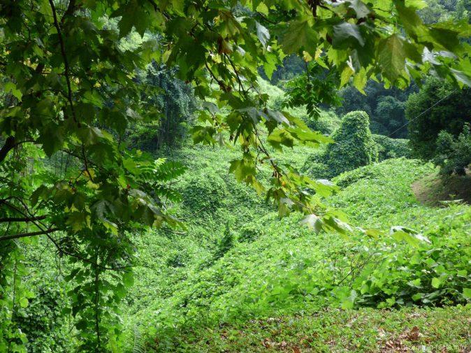Зеленый ковер в ботаническом саду Батуми