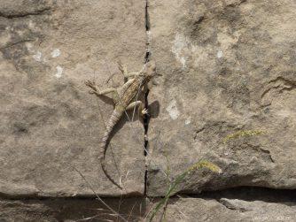 Гекконы на стенах Джвари, Грузия