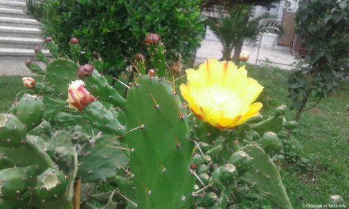 В Батуми летом цветут кактусы